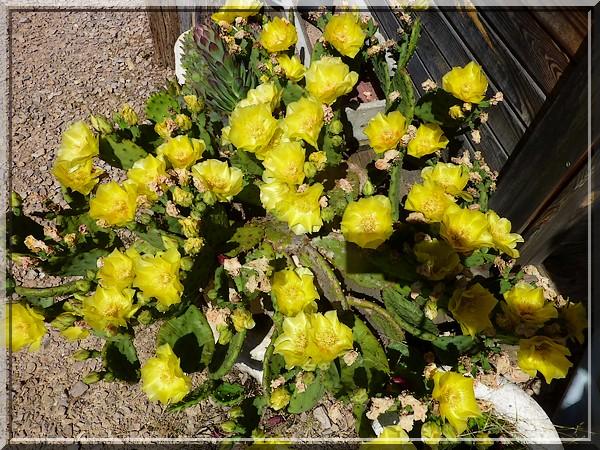 Cactus en fleurs, 20 juin 2016