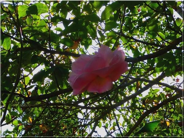 Rose, octobre 2016