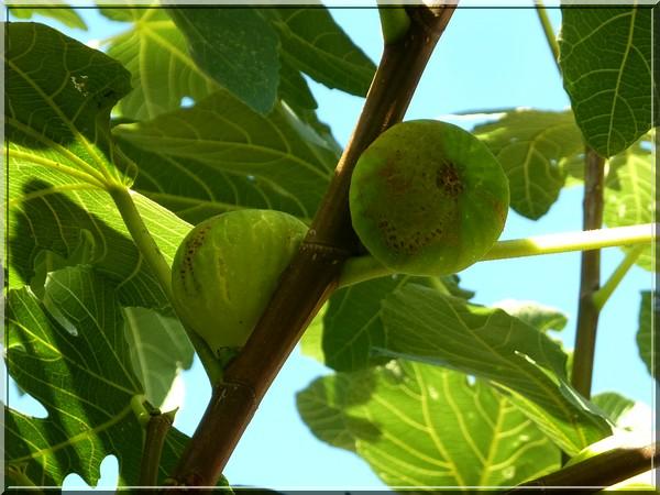 Figues fraîches du jardin !